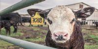 ganaderia, vaca, explotación